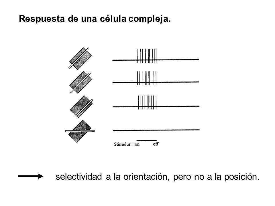 Respuesta de una célula compleja. selectividad a la orientación, pero no a la posición.