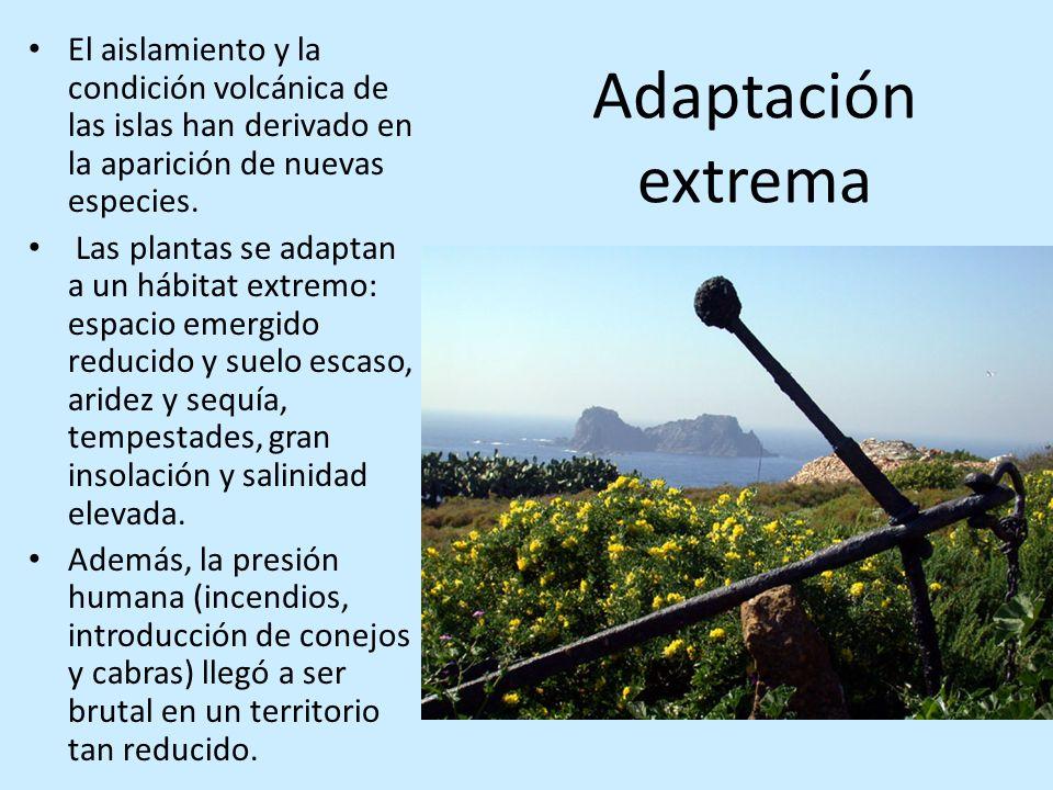 Adaptación extrema El aislamiento y la condición volcánica de las islas han derivado en la aparición de nuevas especies. Las plantas se adaptan a un h