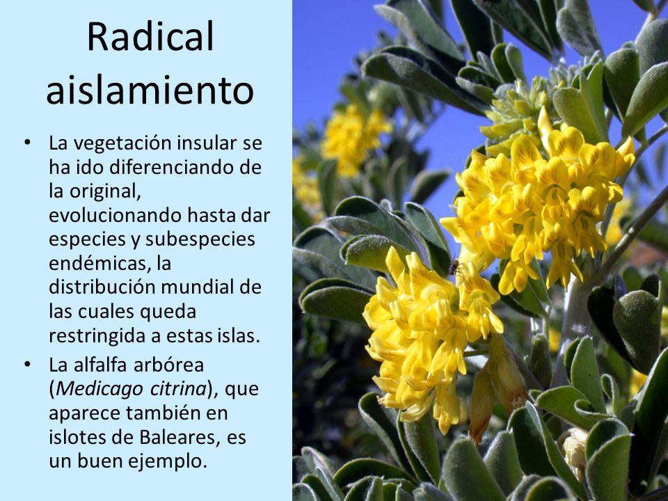 Radical aislamiento La vegetación insular se ha ido diferenciando de la original, evolucionando hasta dar especies y subespecies endémicas, la distrib