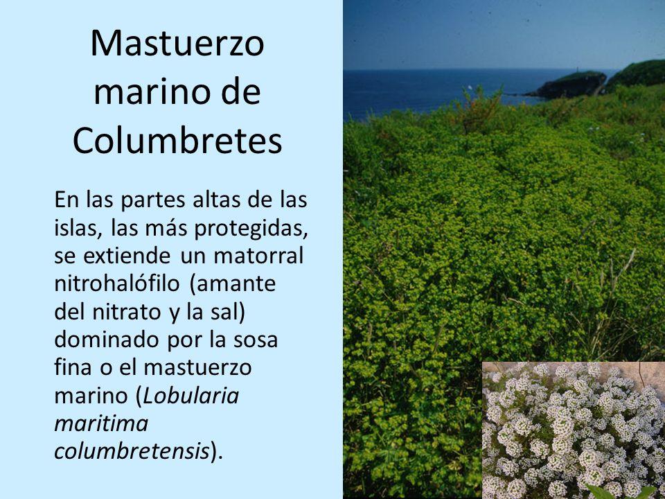 Mastuerzo marino de Columbretes En las partes altas de las islas, las más protegidas, se extiende un matorral nitrohalófilo (amante del nitrato y la s
