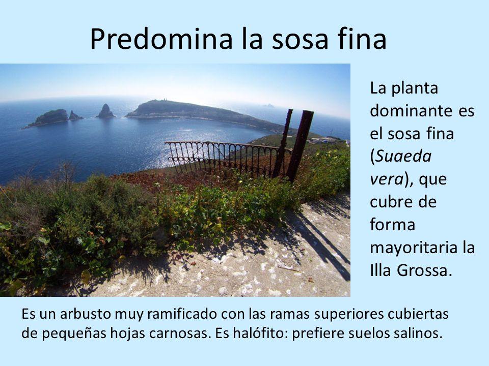 Predomina la sosa fina La planta dominante es el sosa fina (Suaeda vera), que cubre de forma mayoritaria la Illa Grossa. Es un arbusto muy ramificado