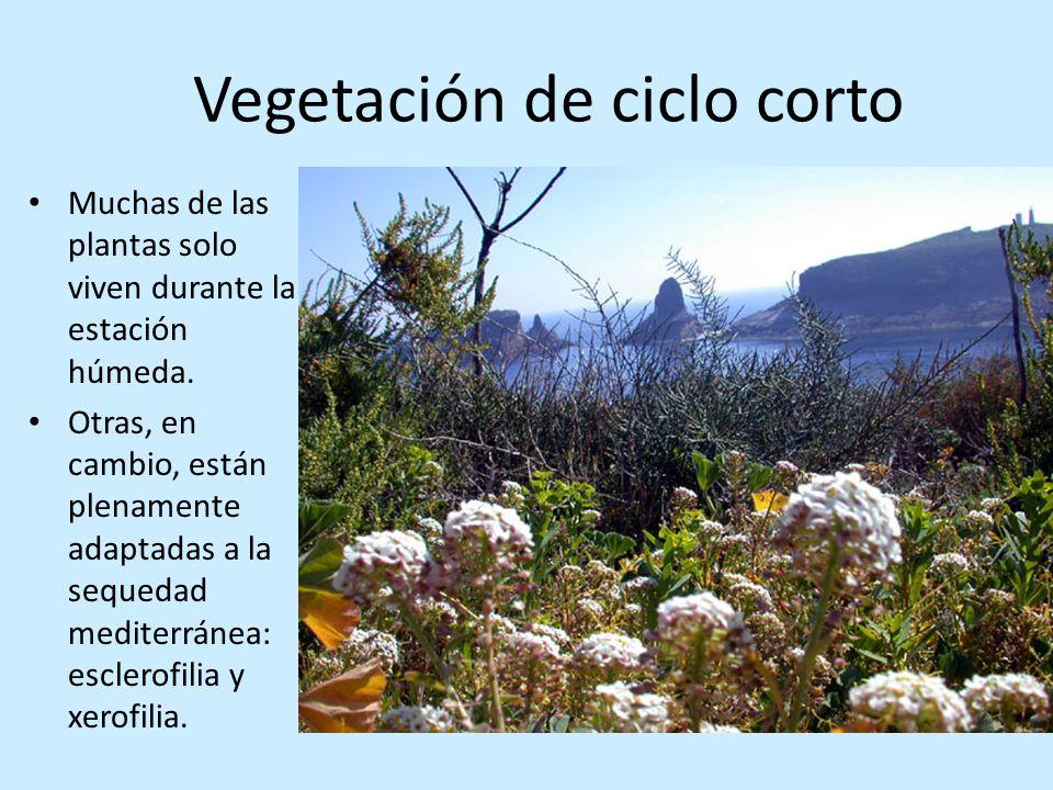 Vegetación de ciclo corto Muchas de las plantas solo viven durante la estación húmeda. Otras, en cambio, están plenamente adaptadas a la sequedad medi