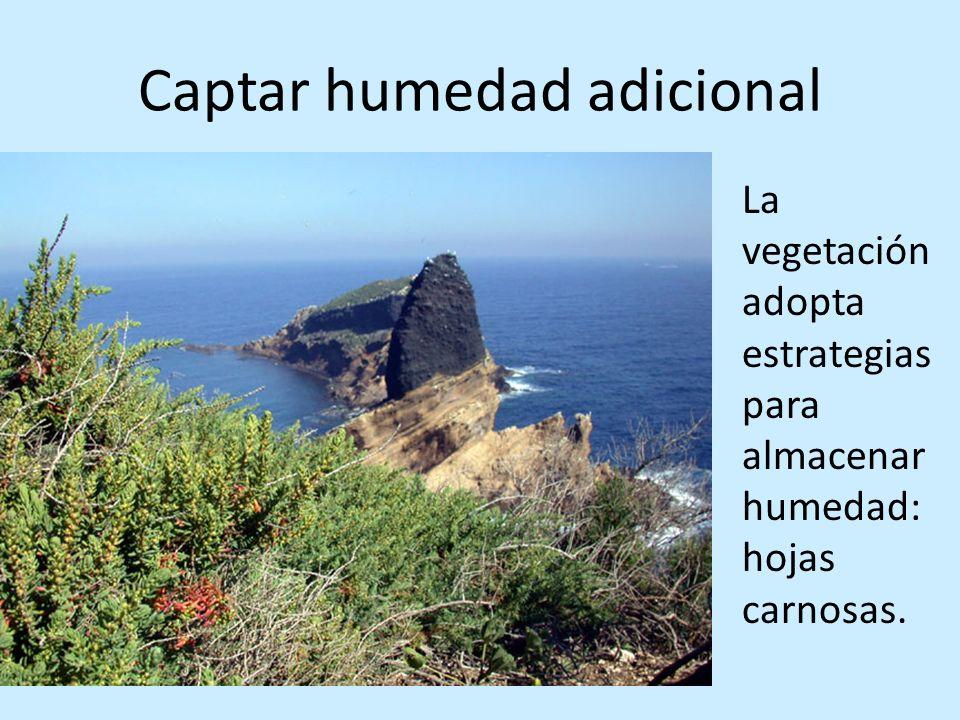 Captar humedad adicional La vegetación adopta estrategias para almacenar humedad: hojas carnosas.