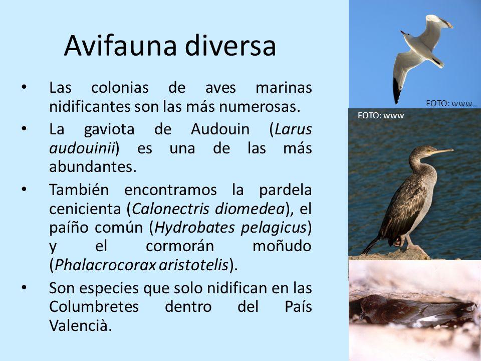 Avifauna diversa Las colonias de aves marinas nidificantes son las más numerosas. La gaviota de Audouin (Larus audouinii) es una de las más abundantes