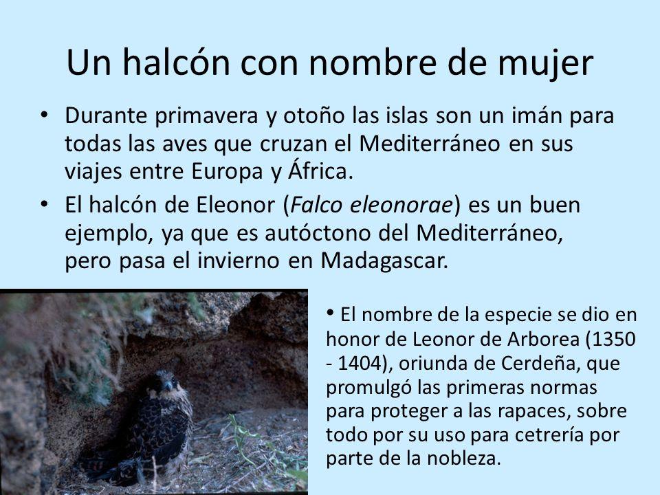 Un halcón con nombre de mujer Durante primavera y otoño las islas son un imán para todas las aves que cruzan el Mediterráneo en sus viajes entre Europ