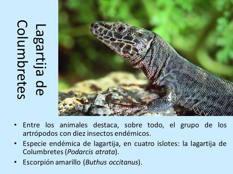 Lagartija de Columbretes Entre los animales destaca, sobre todo, el grupo de los artrópodos con diez insectos endémicos. Especie endémica de lagartija