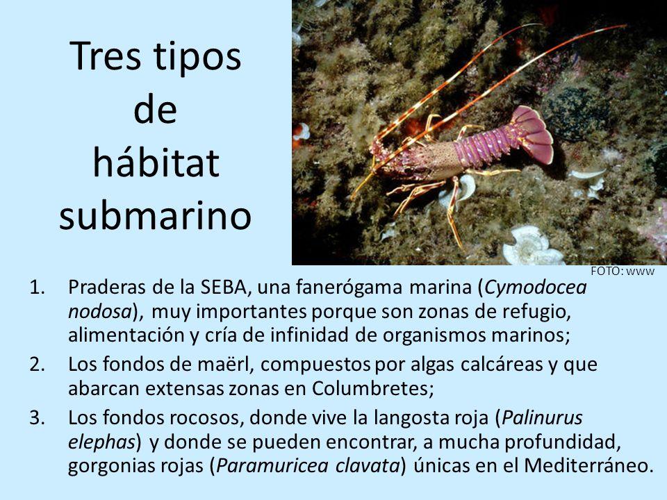 Tres tipos de hábitat submarino 1.Praderas de la SEBA, una fanerógama marina (Cymodocea nodosa), muy importantes porque son zonas de refugio, alimenta