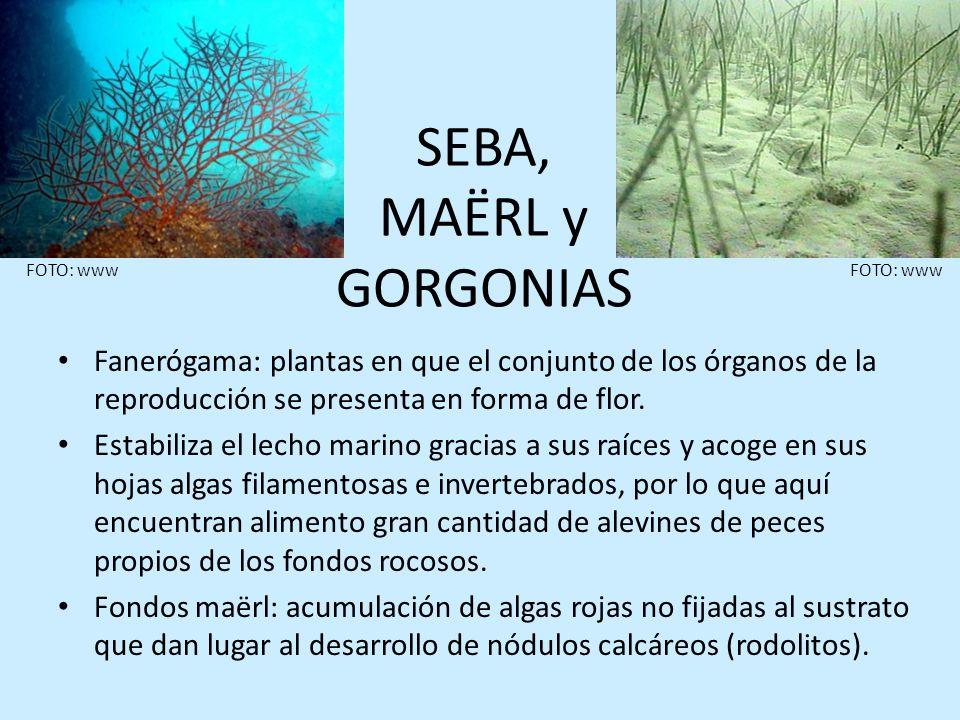 SEBA, MAËRL y GORGONIAS Fanerógama: plantas en que el conjunto de los órganos de la reproducción se presenta en forma de flor. Estabiliza el lecho mar