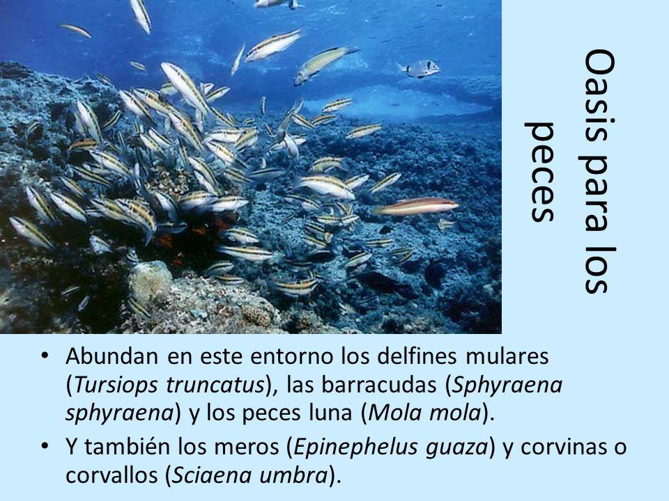 Oasis para los peces Abundan en este entorno los delfines mulares (Tursiops truncatus), las barracudas (Sphyraena sphyraena) y los peces luna (Mola mo