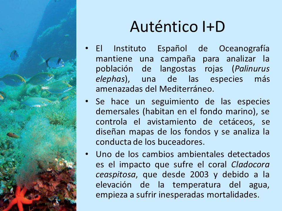 Auténtico I+D El Instituto Español de Oceanografía mantiene una campaña para analizar la población de langostas rojas (Palinurus elephas), una de las