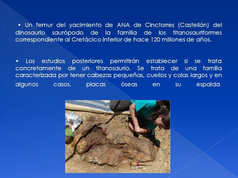 Un femur del yacimiento de ANA de Cinctorres (Castellón) del dinosaurio saurópodo de la familia de los titanosauriformes correspondiente al Cretácico