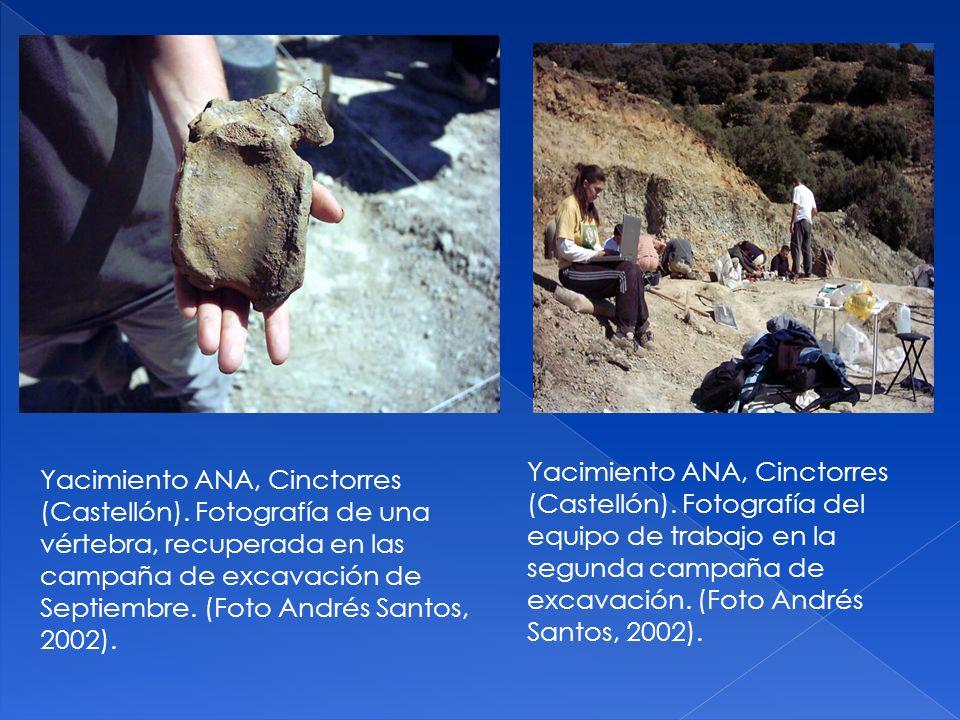 Yacimiento ANA, Cinctorres (Castellón). Fotografía de una vértebra, recuperada en las campaña de excavación de Septiembre. (Foto Andrés Santos, 2002).