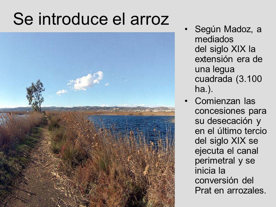 Se introduce el arroz Según Madoz, a mediados del siglo XIX la extensión era de una legua cuadrada (3.100 ha.). Comienzan las concesiones para su dese