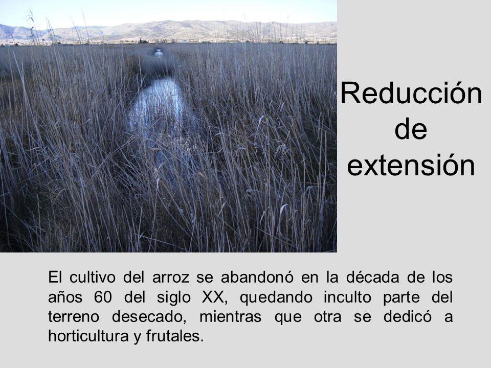 Reducción de extensión El cultivo del arroz se abandonó en la década de los años 60 del siglo XX, quedando inculto parte del terreno desecado, mientra