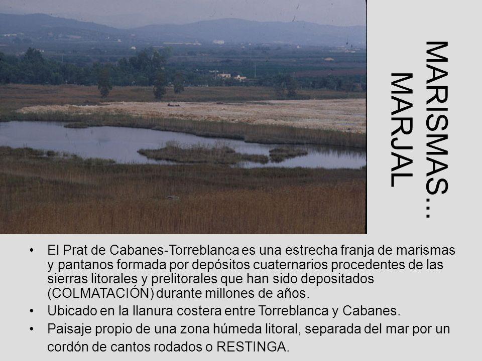 MARISMAS... MARJAL El Prat de Cabanes-Torreblanca es una estrecha franja de marismas y pantanos formada por depósitos cuaternarios procedentes de las