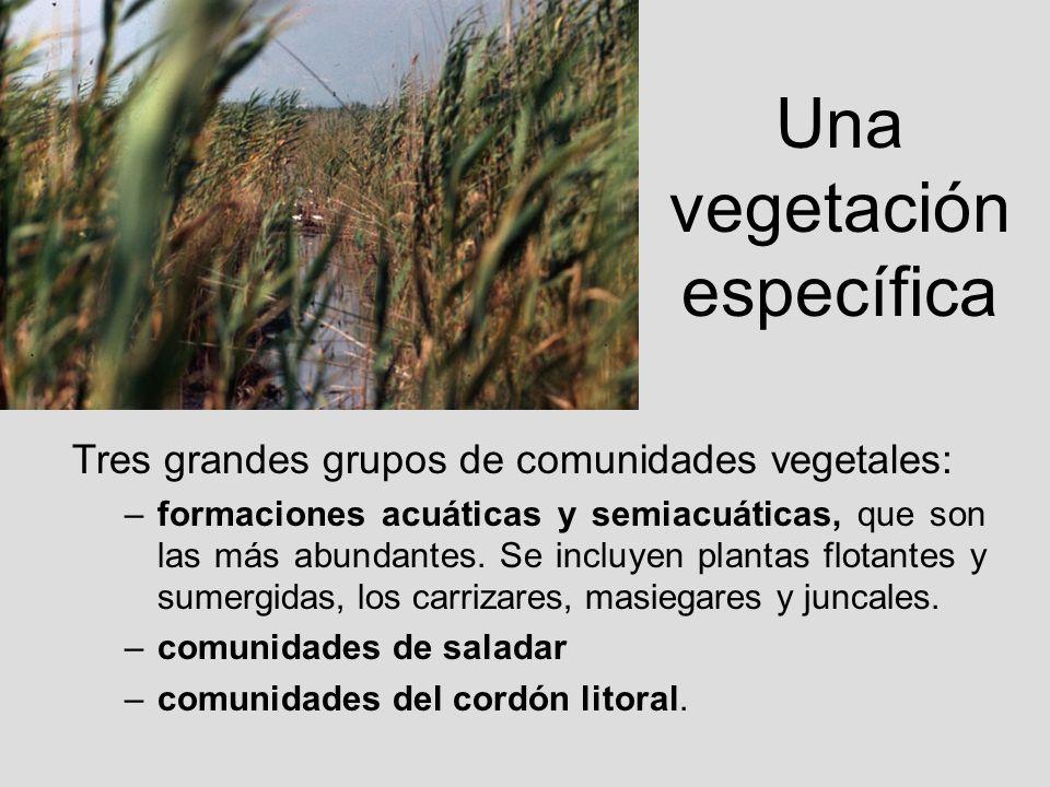Una vegetación específica Tres grandes grupos de comunidades vegetales: –formaciones acuáticas y semiacuáticas, que son las más abundantes. Se incluye