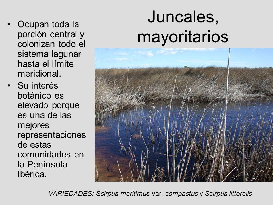 Juncales, mayoritarios Ocupan toda la porción central y colonizan todo el sistema lagunar hasta el límite meridional. Su interés botánico es elevado p