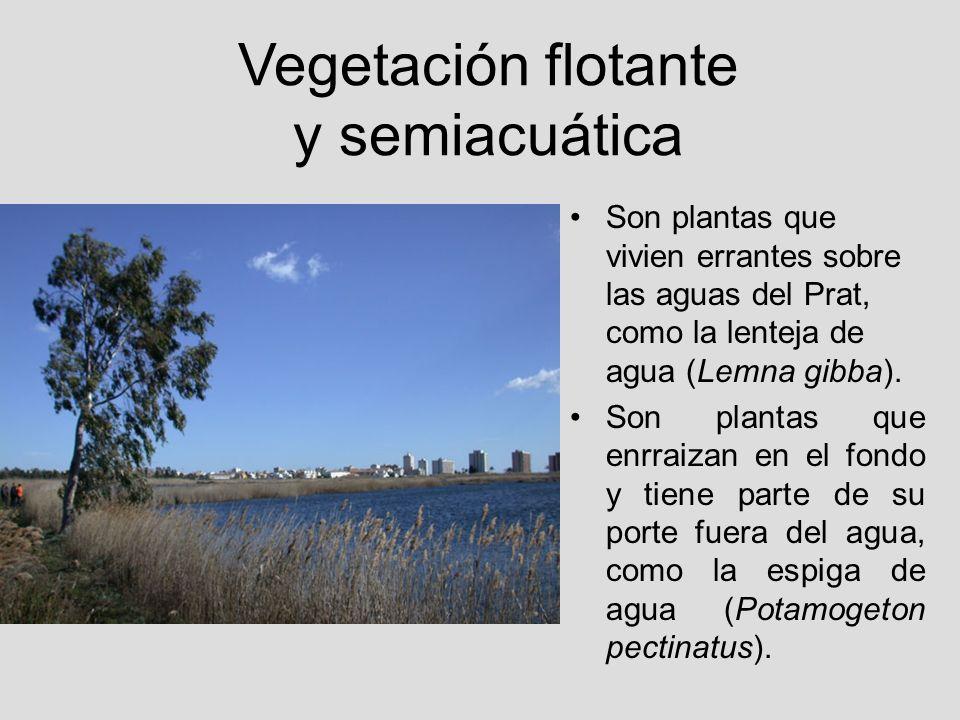 Vegetación flotante y semiacuática Son plantas que vivien errantes sobre las aguas del Prat, como la lenteja de agua (Lemna gibba). Son plantas que en
