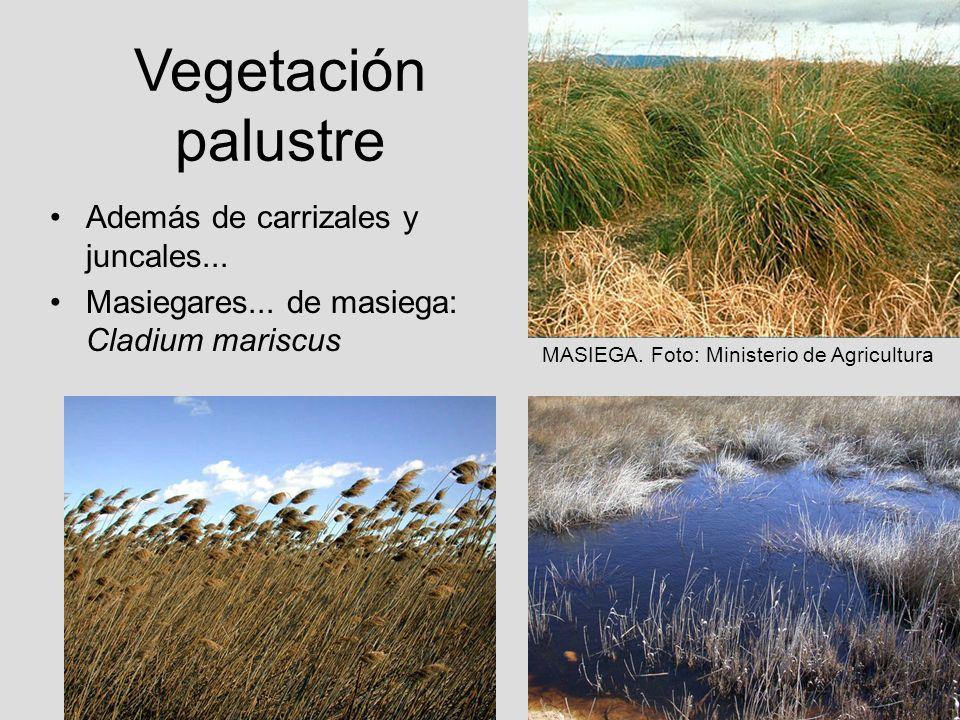Vegetación palustre Además de carrizales y juncales... Masiegares... de masiega: Cladium mariscus MASIEGA. Foto: Ministerio de Agricultura