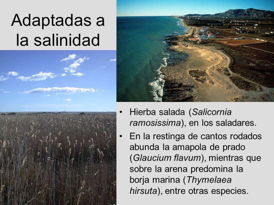Adaptadas a la salinidad Hierba salada (Salicornia ramosissima), en los saladares. En la restinga de cantos rodados abunda la amapola de prado (Glauci