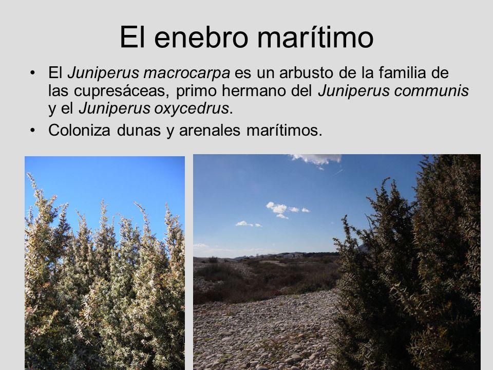 El enebro marítimo El Juniperus macrocarpa es un arbusto de la familia de las cupresáceas, primo hermano del Juniperus communis y el Juniperus oxycedr