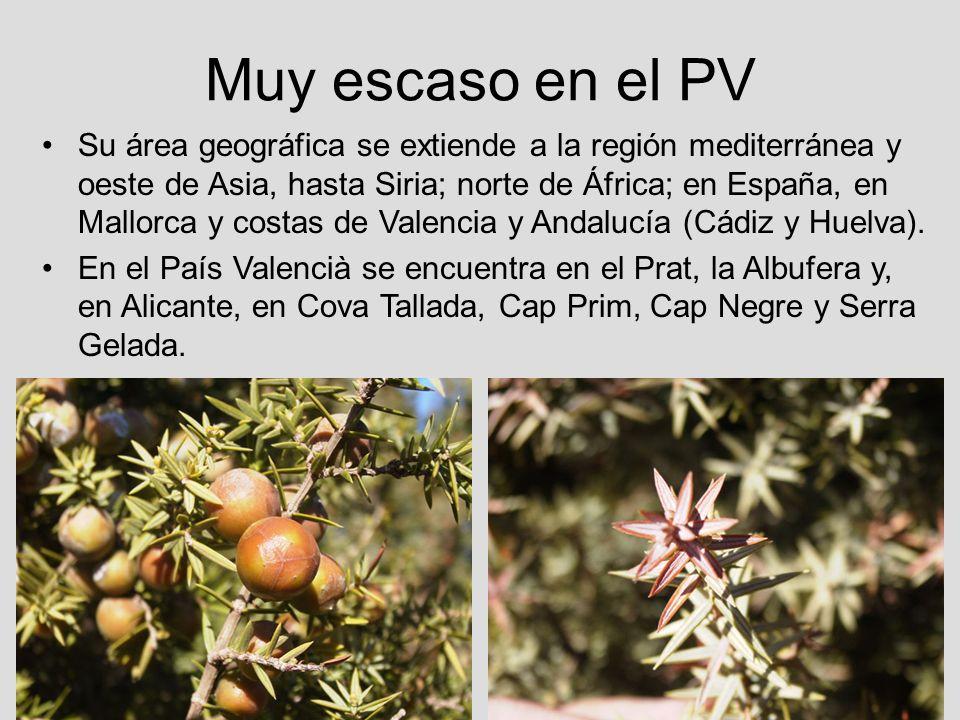 Muy escaso en el PV Su área geográfica se extiende a la región mediterránea y oeste de Asia, hasta Siria; norte de África; en España, en Mallorca y co