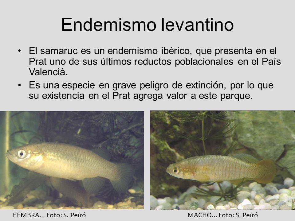 Endemismo levantino El samaruc es un endemismo ibérico, que presenta en el Prat uno de sus últimos reductos poblacionales en el País Valencià. Es una
