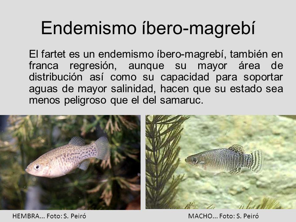 Endemismo íbero-magrebí El fartet es un endemismo íbero-magrebí, también en franca regresión, aunque su mayor área de distribución así como su capacid
