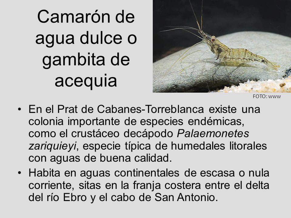 Camarón de agua dulce o gambita de acequia En el Prat de Cabanes-Torreblanca existe una colonia importante de especies endémicas, como el crustáceo de
