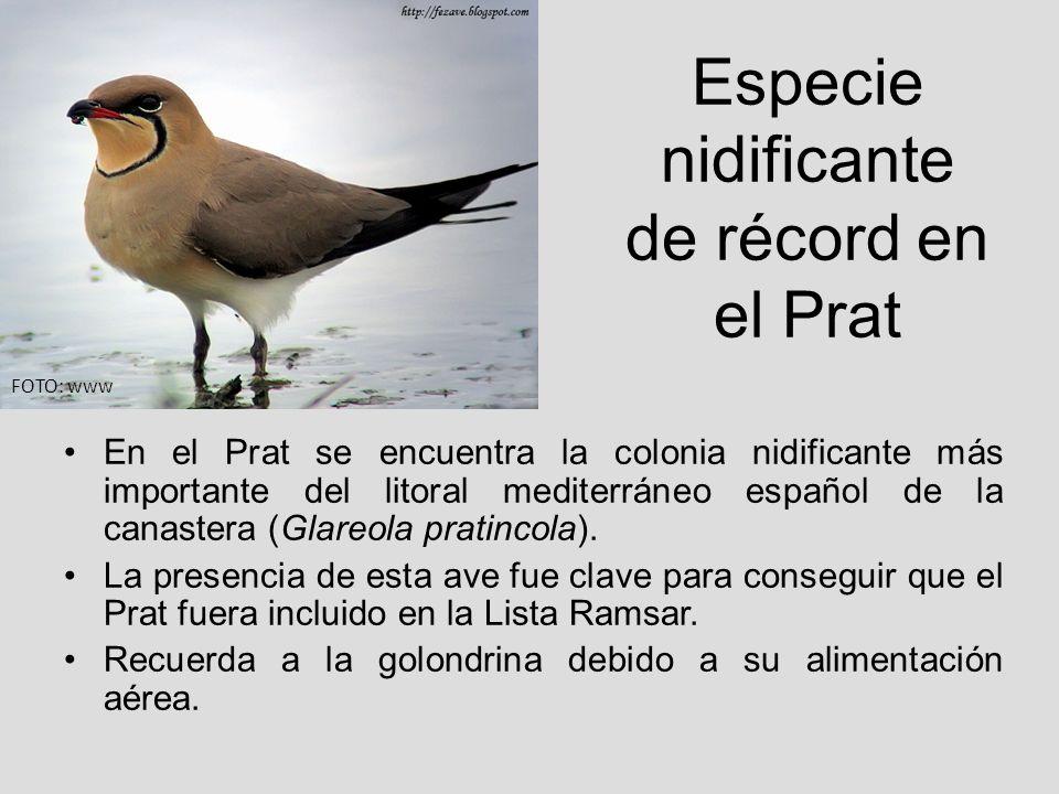 Especie nidificante de récord en el Prat En el Prat se encuentra la colonia nidificante más importante del litoral mediterráneo español de la canaster