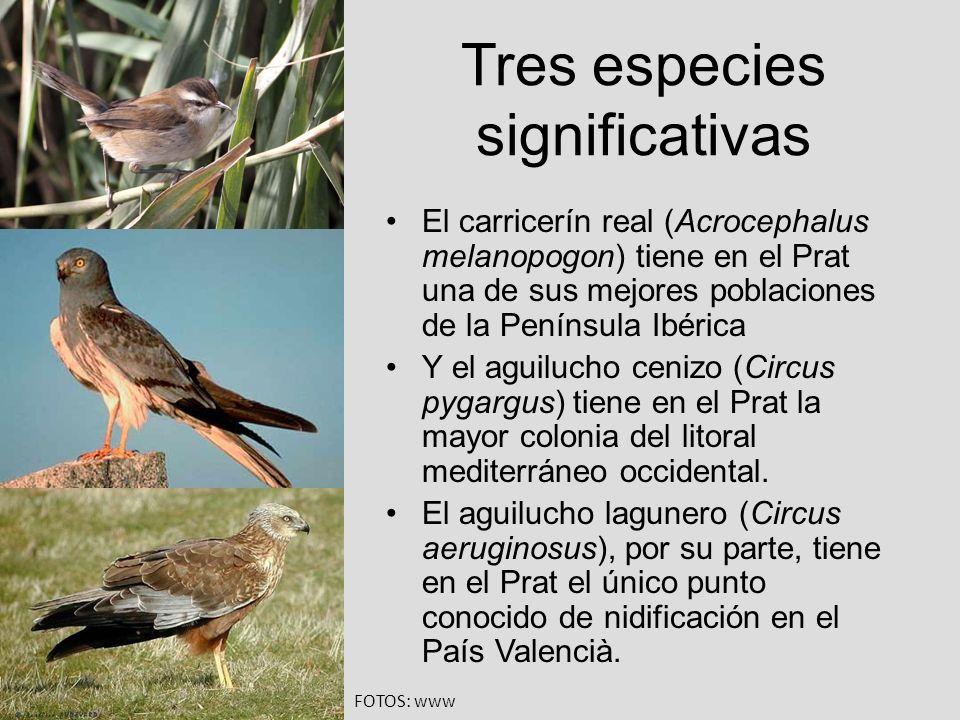 Tres especies significativas El carricerín real (Acrocephalus melanopogon) tiene en el Prat una de sus mejores poblaciones de la Península Ibérica Y e