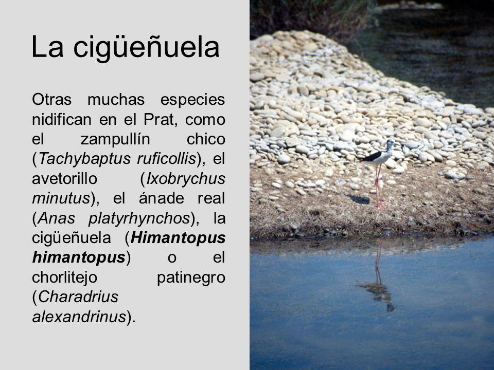 La cigüeñuela Otras muchas especies nidifican en el Prat, como el zampullín chico (Tachybaptus ruficollis), el avetorillo (Ixobrychus minutus), el ána
