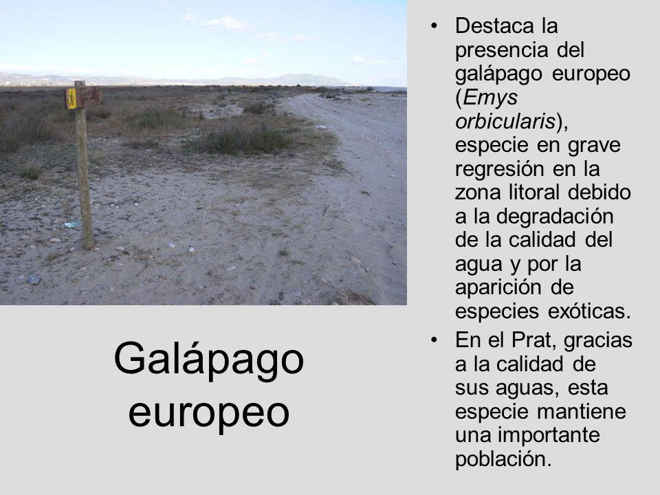 Galápago europeo Destaca la presencia del galápago europeo (Emys orbicularis), especie en grave regresión en la zona litoral debido a la degradación d