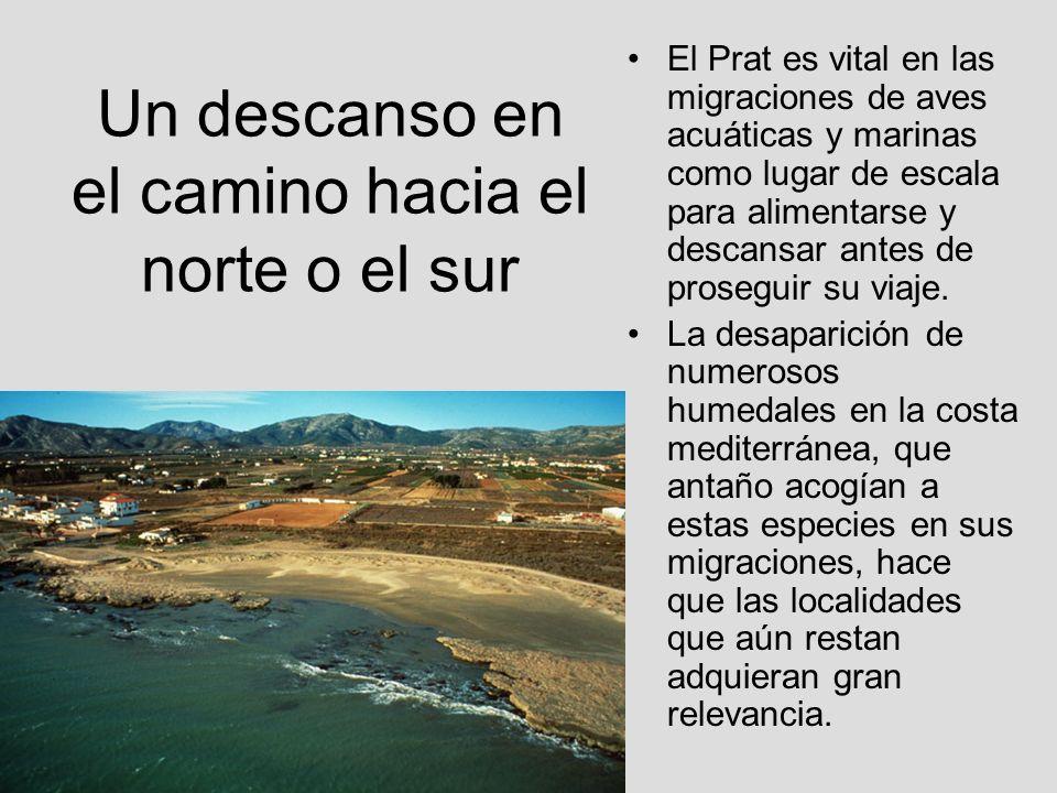 Un descanso en el camino hacia el norte o el sur El Prat es vital en las migraciones de aves acuáticas y marinas como lugar de escala para alimentarse
