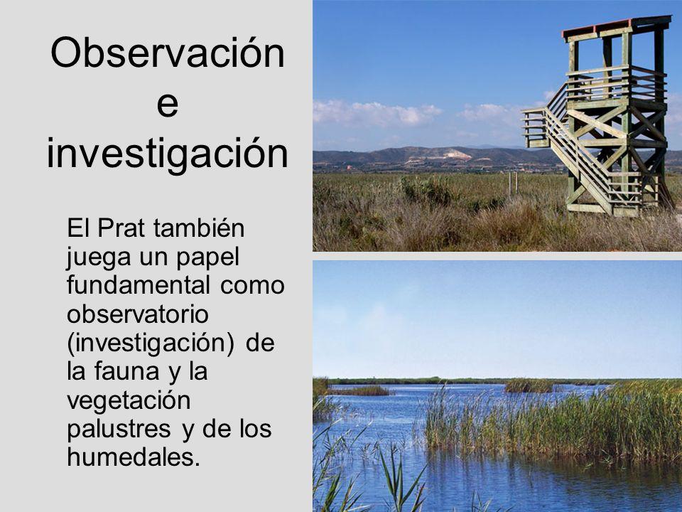Observación e investigación El Prat también juega un papel fundamental como observatorio (investigación) de la fauna y la vegetación palustres y de lo