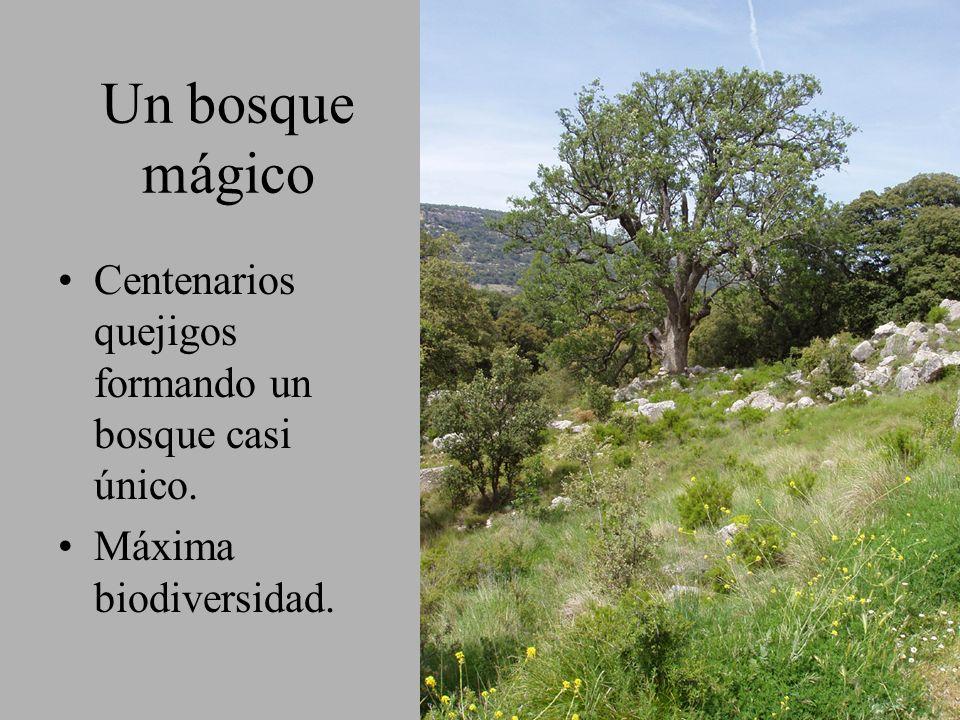 Un bosque mágico Centenarios quejigos formando un bosque casi único. Máxima biodiversidad.