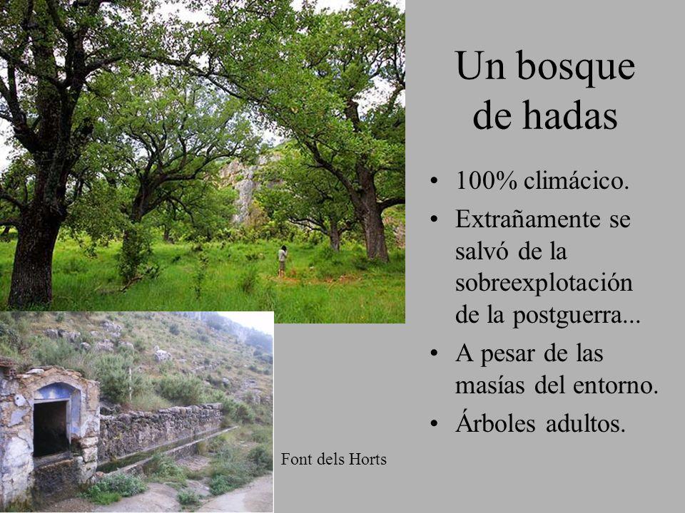 Un bosque de hadas 100% climácico. Extrañamente se salvó de la sobreexplotación de la postguerra... A pesar de las masías del entorno. Árboles adultos