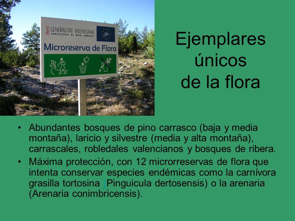 Ejemplares únicos de la flora Abundantes bosques de pino carrasco (baja y media montaña), laricio y silvestre (media y alta montaña), carrascales, rob