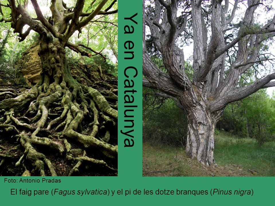 La fageda del Retaule El elemento más notable es la presencia de uno de los hayedos (Fagus sylvatica) más meridionales de la península Ibérica.