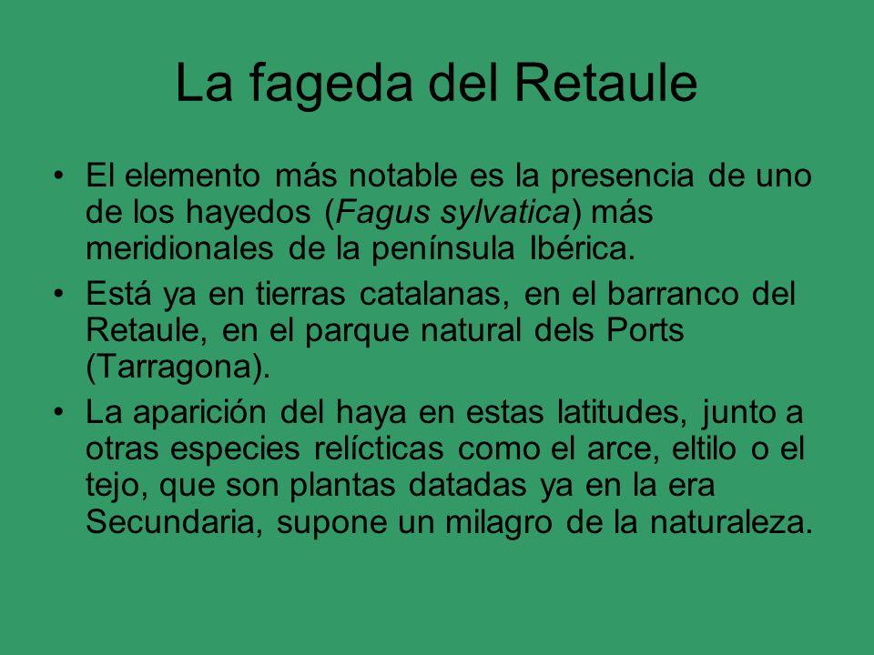 La fageda del Retaule El elemento más notable es la presencia de uno de los hayedos (Fagus sylvatica) más meridionales de la península Ibérica. Está y