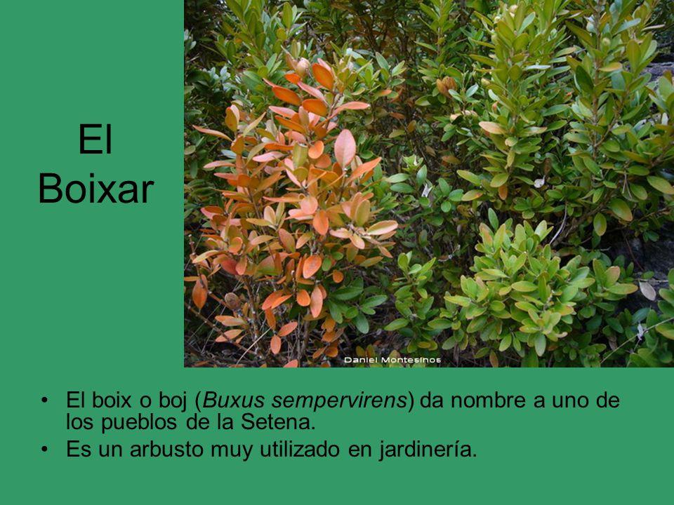 El Boixar El boix o boj (Buxus sempervirens) da nombre a uno de los pueblos de la Setena. Es un arbusto muy utilizado en jardinería.