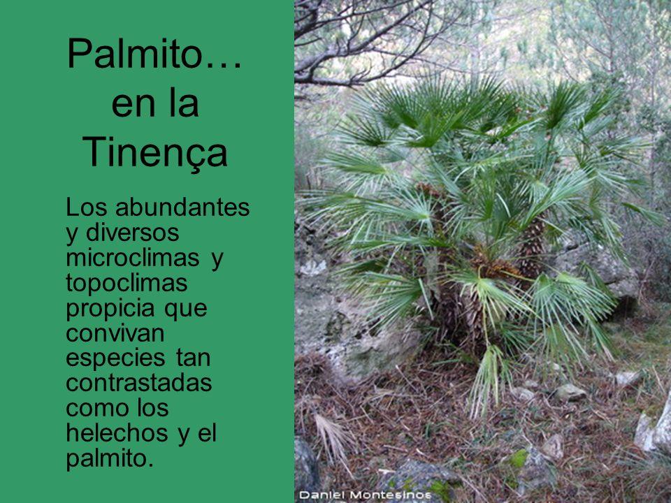 Palmito… en la Tinença Los abundantes y diversos microclimas y topoclimas propicia que convivan especies tan contrastadas como los helechos y el palmi