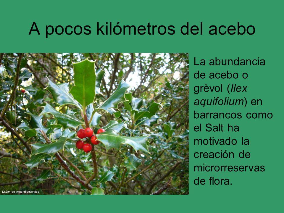 A pocos kilómetros del acebo La abundancia de acebo o grèvol (Ilex aquifolium) en barrancos como el Salt ha motivado la creación de microrreservas de