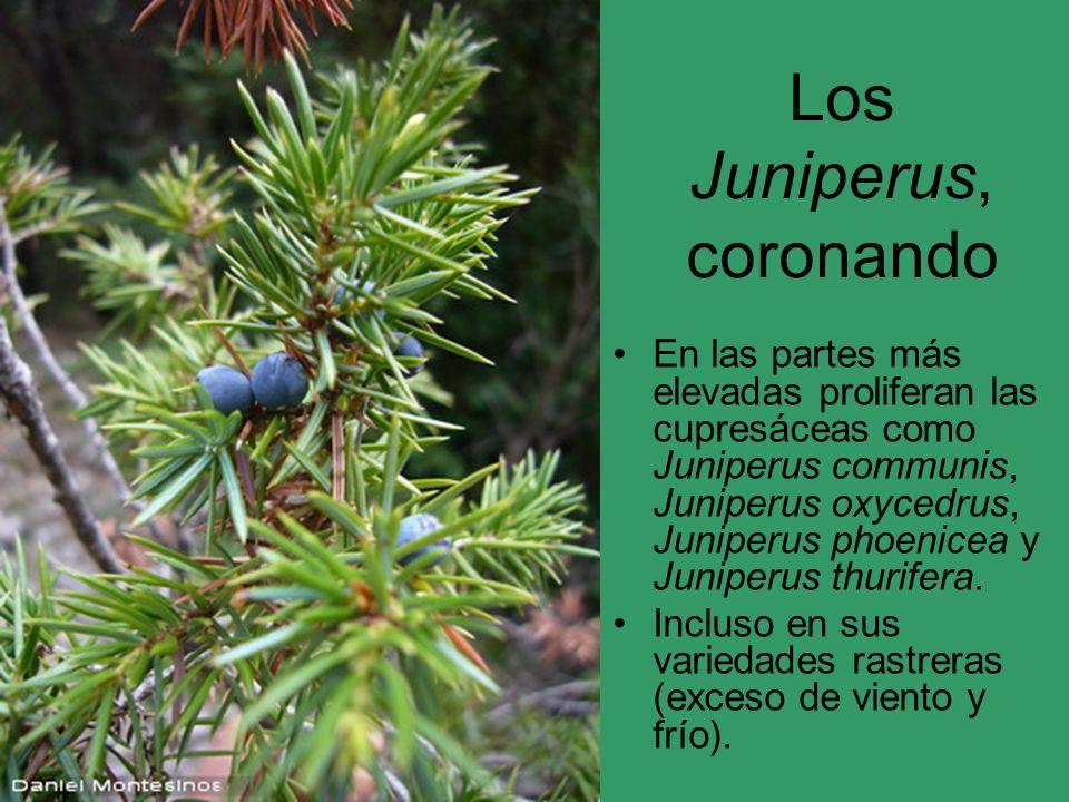 Los Juniperus, coronando En las partes más elevadas proliferan las cupresáceas como Juniperus communis, Juniperus oxycedrus, Juniperus phoenicea y Jun