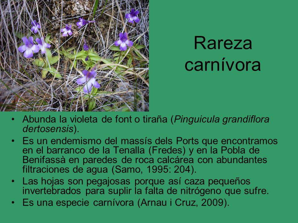Rareza carnívora Abunda la violeta de font o tiraña (Pinguicula grandiflora dertosensis). Es un endemismo del massís dels Ports que encontramos en el