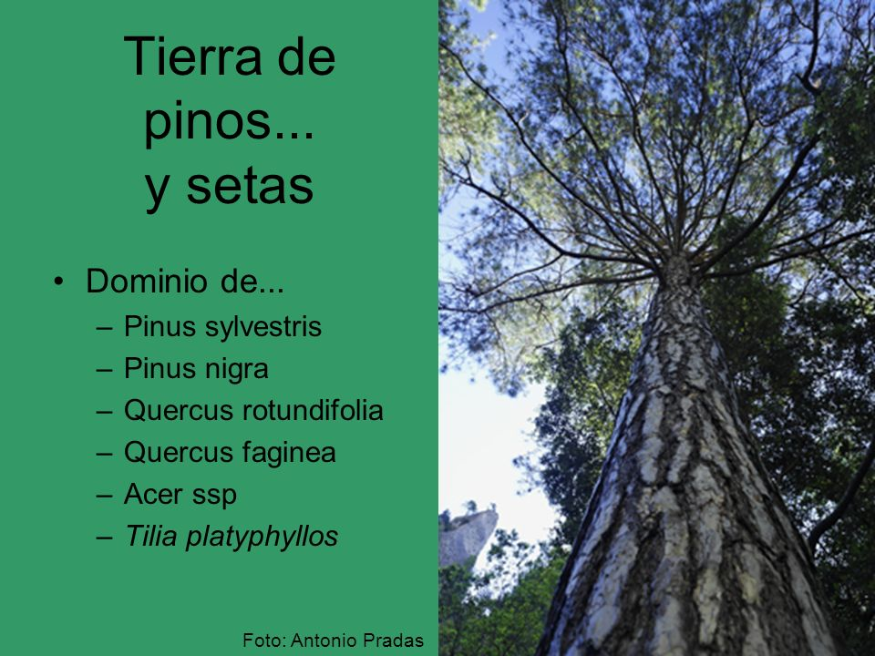 Tierra de pinos... y setas Dominio de... –Pinus sylvestris –Pinus nigra –Quercus rotundifolia –Quercus faginea –Acer ssp –Tilia platyphyllos Foto: Ant