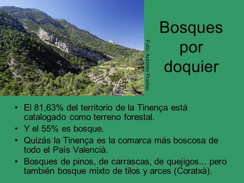 Bosques por doquier El 81,63% del territorio de la Tinença está catalogado como terreno forestal. Y el 55% es bosque. Quizás la Tinença es la comarca
