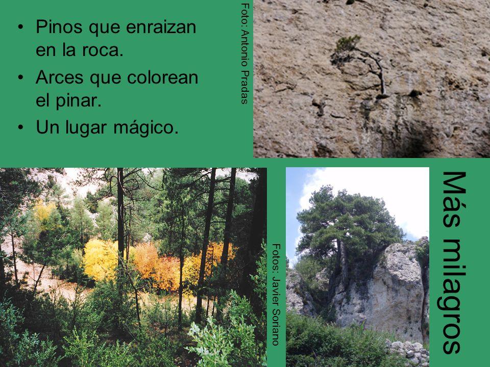 Más milagros Pinos que enraizan en la roca. Arces que colorean el pinar. Un lugar mágico. Foto: Antonio Pradas Fotos: Javier Soriano