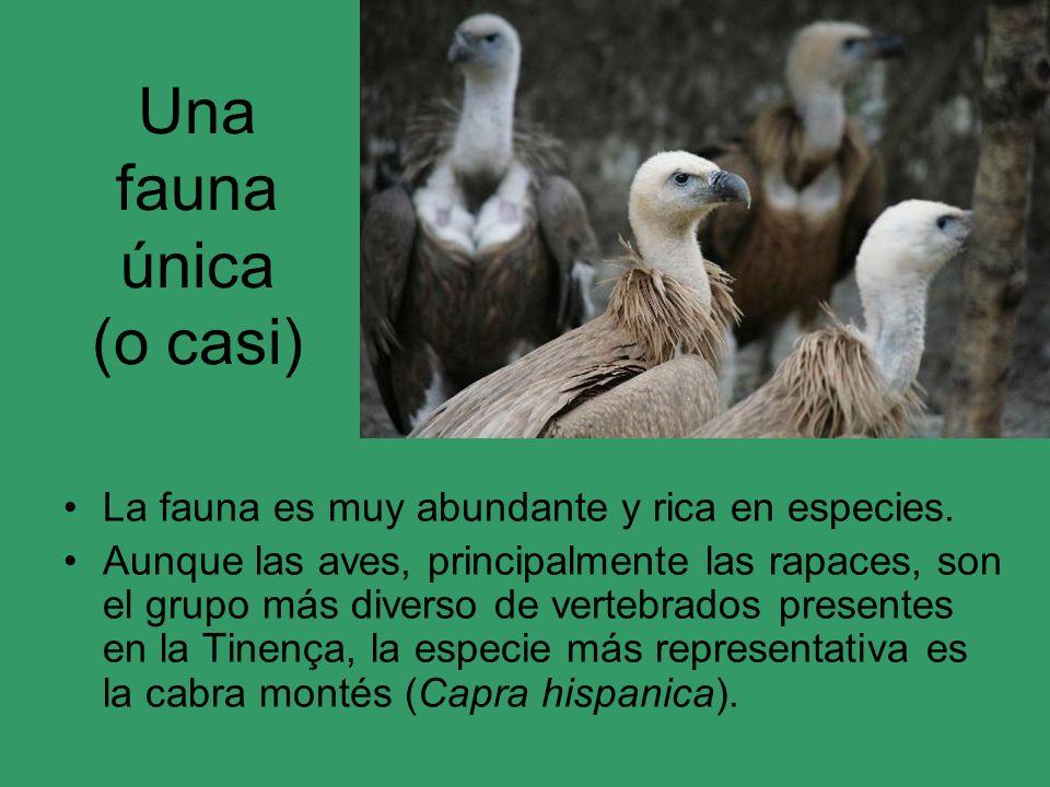 Una fauna única (o casi) La fauna es muy abundante y rica en especies. Aunque las aves, principalmente las rapaces, son el grupo más diverso de verteb