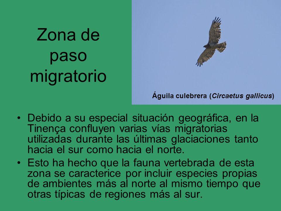 Zona de paso migratorio Debido a su especial situación geográfica, en la Tinença confluyen varias vías migratorias utilizadas durante las últimas glac
